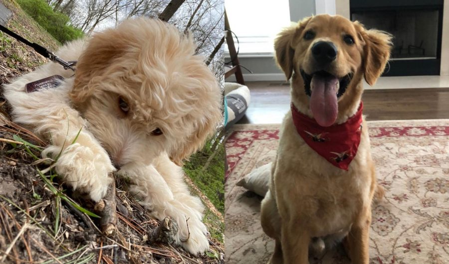 """Oscar (left), a Goldendoode, lays on the ground after going on a walk with his owner, Arya Patri, sophomore.  """"It's helped me have something good come out of this pandemic,"""" Patri said. """"Having a pet who loves you unconditionally makes you feel good."""""""